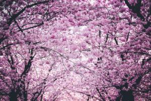 Cherry Blossom HD image.
