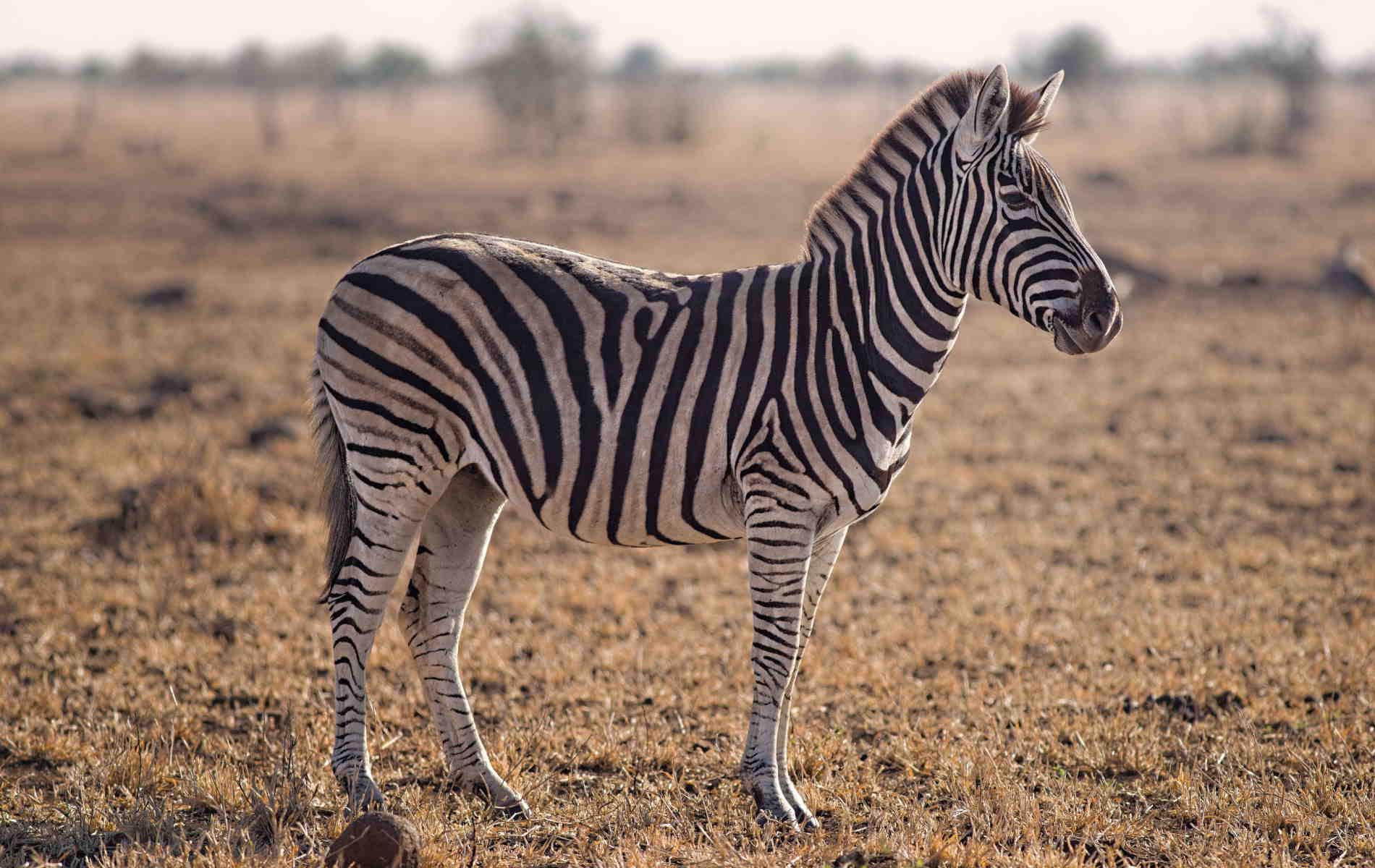 Zebra Hd Wallpaper - Forever Wallpapers