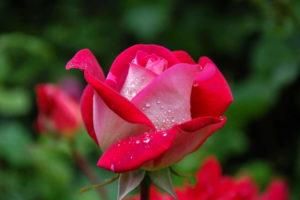 Peach Rose Image