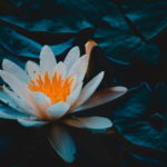 Beautiful Lotus Flower Picture