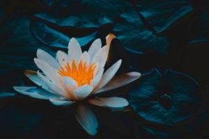 Beautiful Lotus Flower Picture