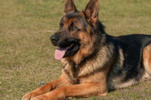 Black And Brown German Shepherd