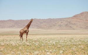 Cute Giraffe Wallpaper