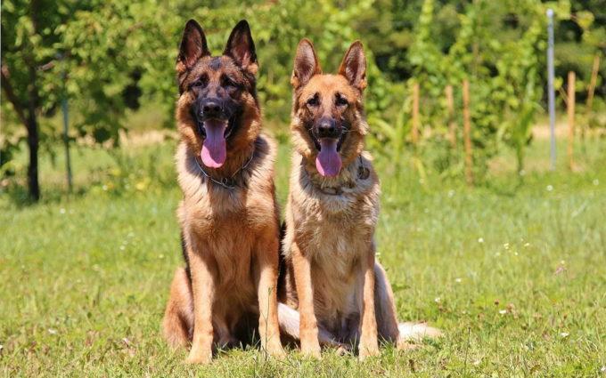 German Shepherd Couple