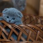 Kitten Basket