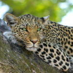 Leopard Wallpaper HD
