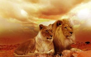 Lion Family HD Wallpaper