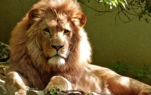 Lion Wallpaper HD