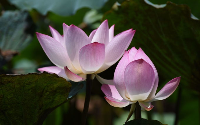 Pink and white Lotus Flower Pictures