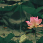 Lotus Picture
