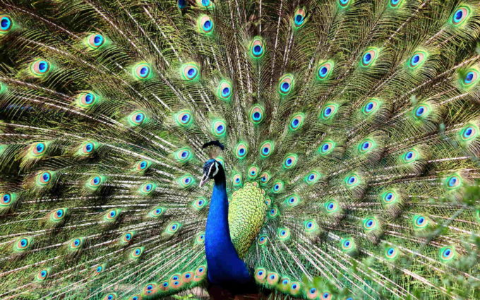 Male Peacock Images