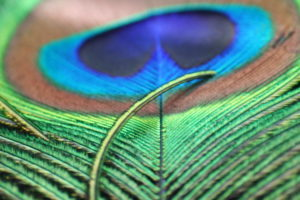 Peacock Feather Images