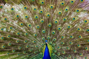 Peacock Feather Wallpaper HD