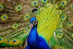 Peacock Pic