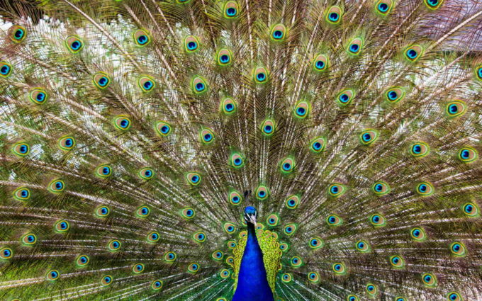 Peacock Wallpaper HD