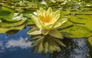 Picture of Lotus on Water
