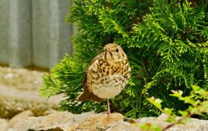 Female Thrush Bird Images