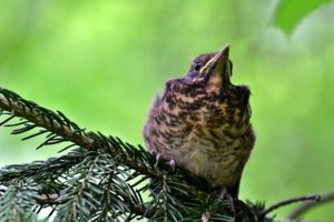 Wood Thrush Bird Images
