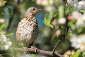 Thrush Bird Pictures