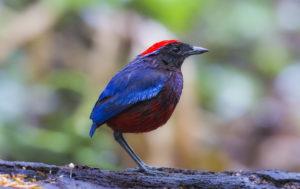 Thrush Bird Images