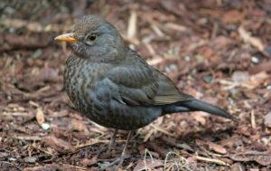 Thrush Bird Image