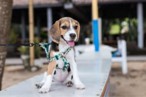 Beagle Photos Free