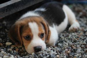 Beagle Pics