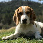 Beagle Puppy Pictures Cute