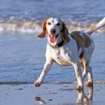 Beagle Wallpaper Iphone