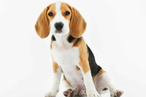 Beagle Wallpapers