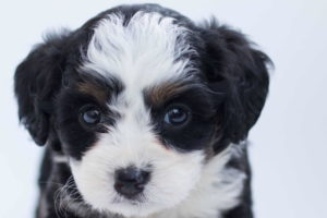 Black And White Poodle pup