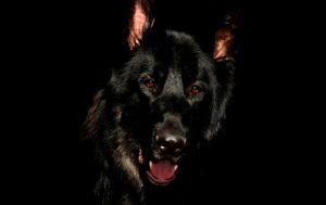 Black German Shepherd Pictures