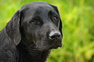 Black Labradore Images