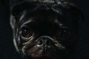 Black Pug Wallpaper