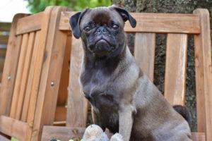 Black Pug baby