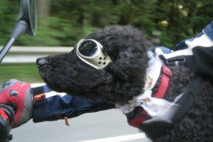 Black Standard Poodle Pics