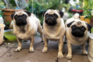 Cute Baby Pug Pictures