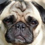 Cute Image of Pug