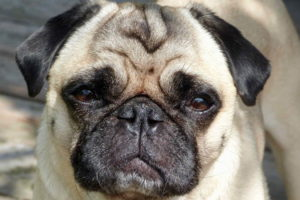 Cute Image of Pug
