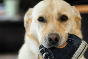 Cute Labrador Pictures