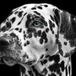 Dalmatian HD Wallpaper