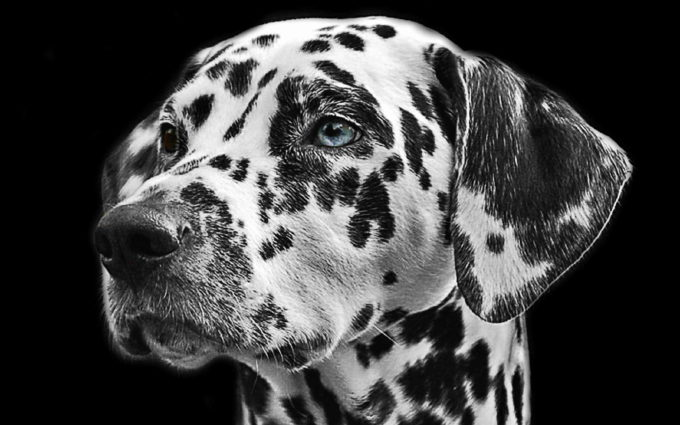 Dalmatian HD Wallpaper