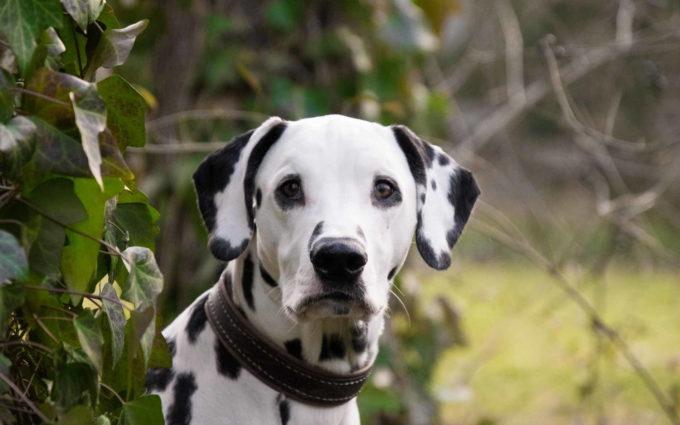 Dalmatian Dog Breed