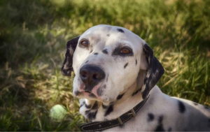 Dalmatian Dog Photo