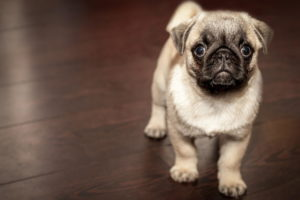 Free Pug Puppies