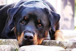 Full Size Rottweiler