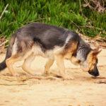 German Shepherd Dog Images Free