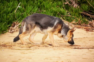 German Shepherd Dog Images Free