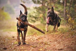German Shepherd Pics