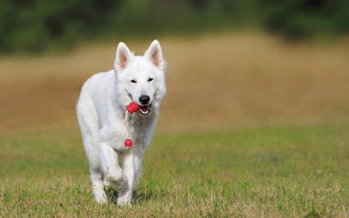 German Shepherd White